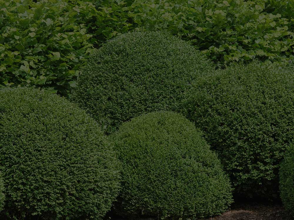 Shrubs and Hedges